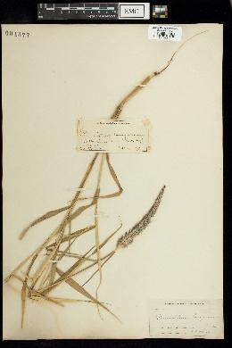Image of Pennisetum pedicellatum