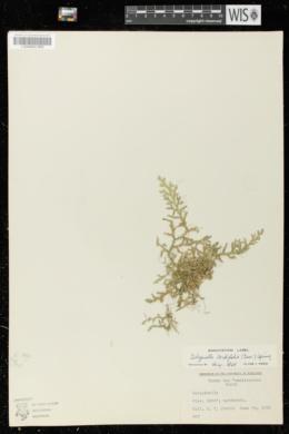 Image of Selaginella cordifolia