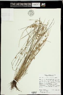 Schoenoplectiella hallii image