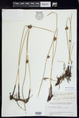 Image of Juncus breweri