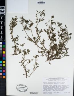 Eucrypta chrysanthemifolia var. bipinnatifida image