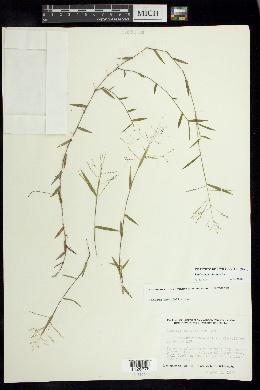 Image of Panicum parvifolium