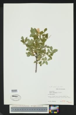 Rosa woodsii image