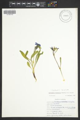 Gentianopsis barbellata image