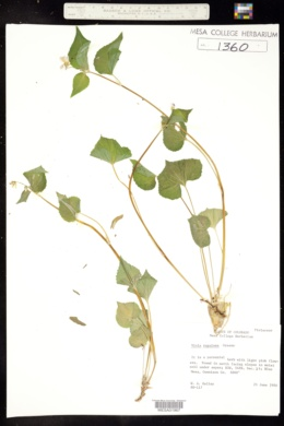 Image of Viola rugosa