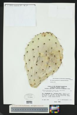 Opuntia engelmannii var. engelmannii image