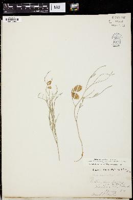 Astragalus ceramicus var. filifolius image
