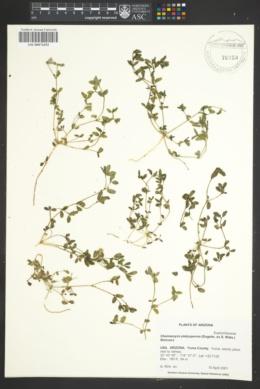 Image of Chamaesyce platysperma