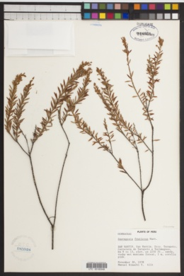 Image of Sauvagesia fruticosa