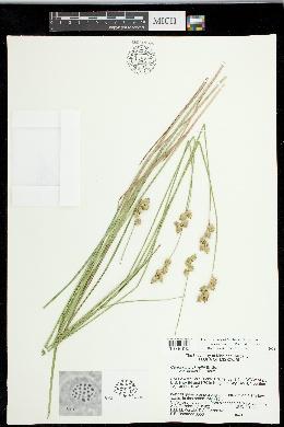 Carex missouriensis image