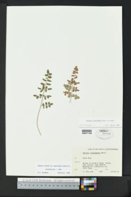 Pellaea intermedia image