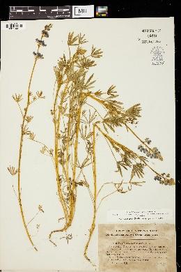 Image of Lupinus apricus