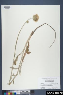 Cirsium virginense image