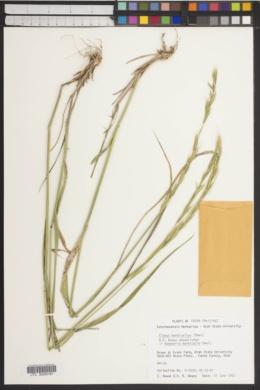 Image of Roegneria barbicalla