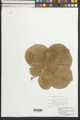 Image of Pseudobombax palmeri