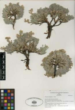 Image of Oreocarya caespitosa