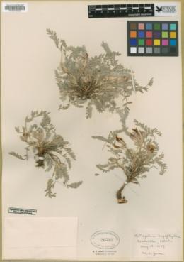 Astragalus argophyllus image
