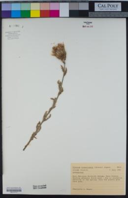 Image of Cirsium crassicaule