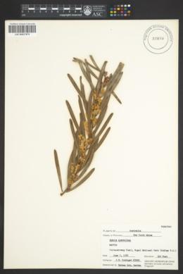 Acacia suaveolens image