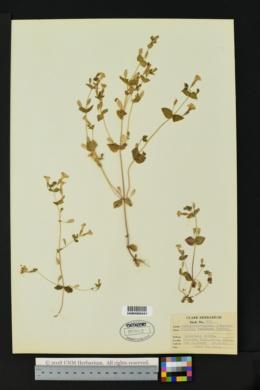 Image of Erythranthe latidens