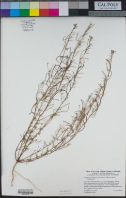 Camissonia strigulosa image
