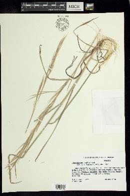 Image of Schizachyrium muelleri