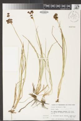 Juncus falcatus image