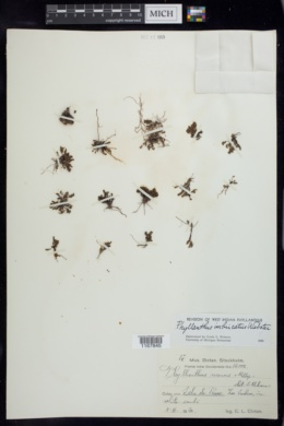Image of Phyllanthus imbricatus