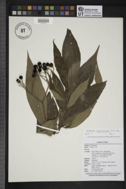Image of Solanum appressum