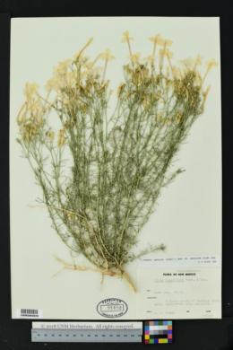 Ipomopsis longiflora subsp. neomexicana image