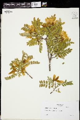 Sophora macrocarpa image