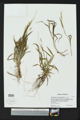 Anthephora hermaphrodita image