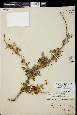 Acacia occidentalis image