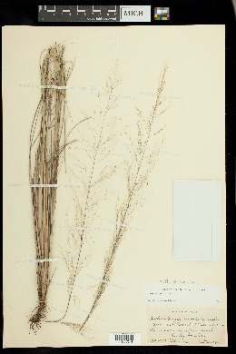 Image of Muhlenbergia x involuta