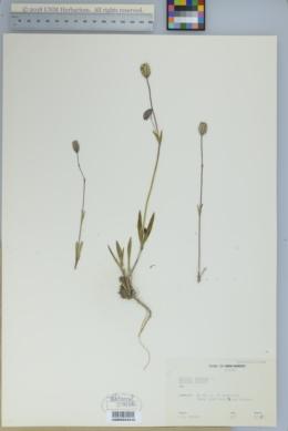 Silene uralensis image