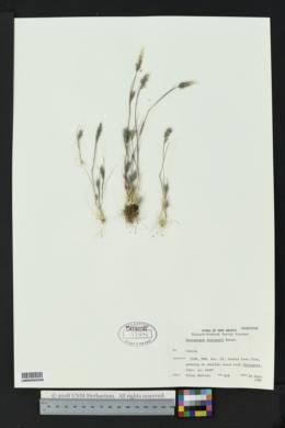 Enneapogon desvauxii image