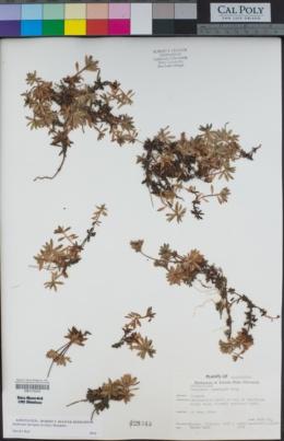 Image of Androsace laevigata