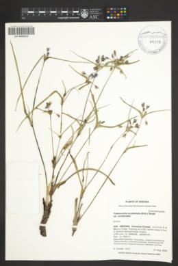 Tradescantia occidentalis var. occidentalis image