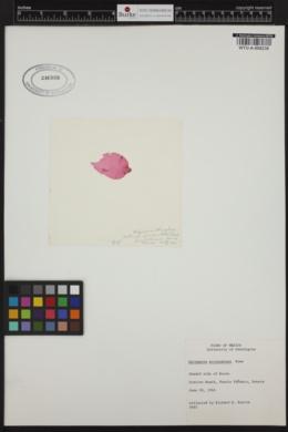 Halymenia actinophysa image