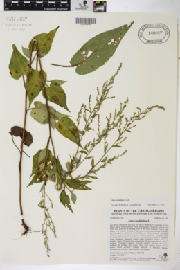 Aster ciliolatus image
