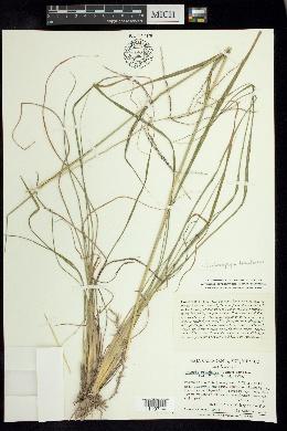 Image of Enteropogon brandegei