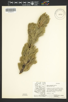 Pinus aristata image