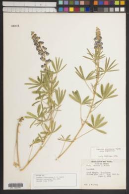 Image of Lupinus flavo-pinuum