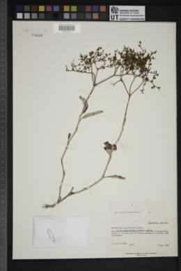 Eriogonum corymbosum var. glutinosum image