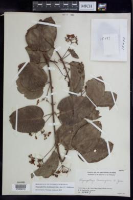 Image of Stigmaphyllon dealbatum