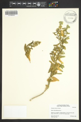 Petalonyx linearis image
