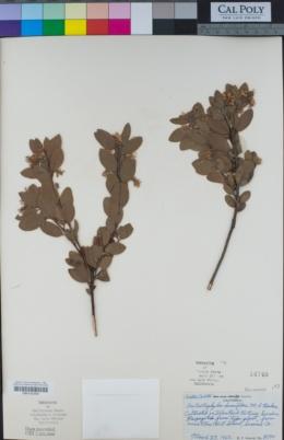 Arctostaphylos densiflora image