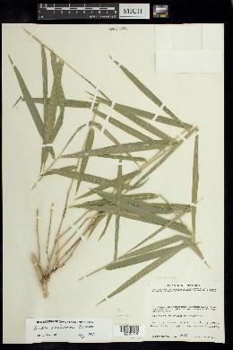 Image of Guadua paniculata