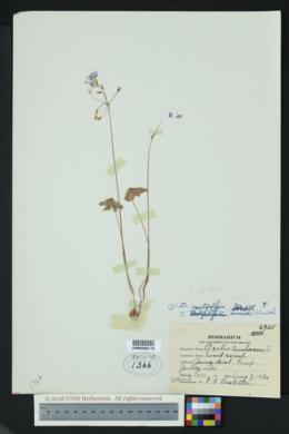 Oxalis alpina image