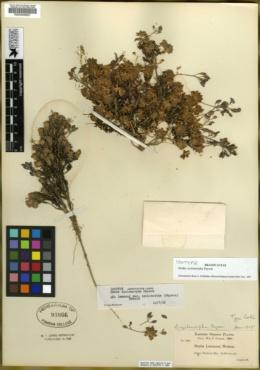 Image of Draba cyclomorpha